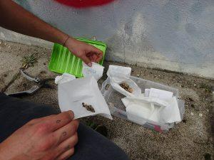Samen werden in Tütchen gesammelt